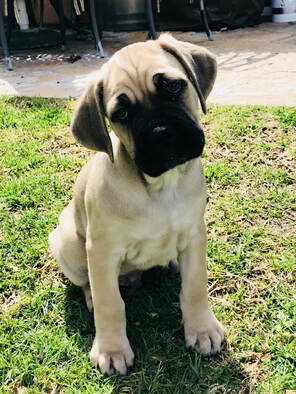 Puppy Training Packages - Banner Mountain Cane Corso