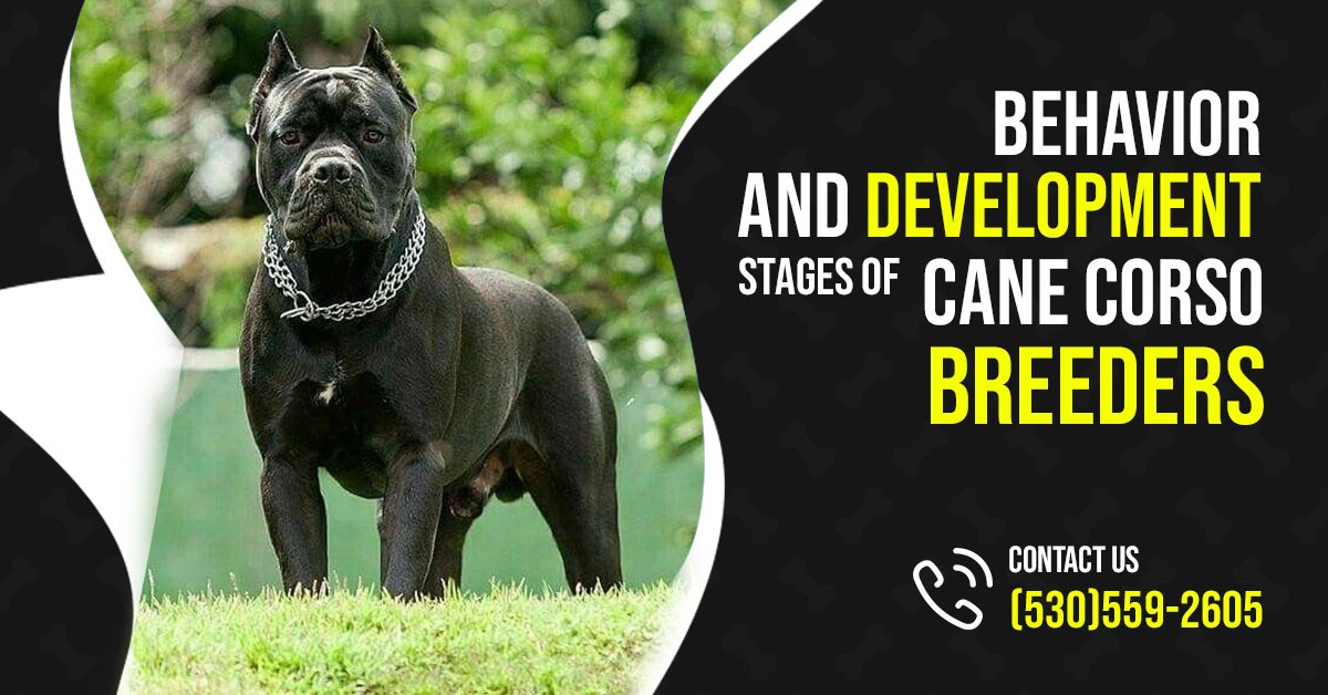 Behavior and Development Stages of Cane Corso Breeders