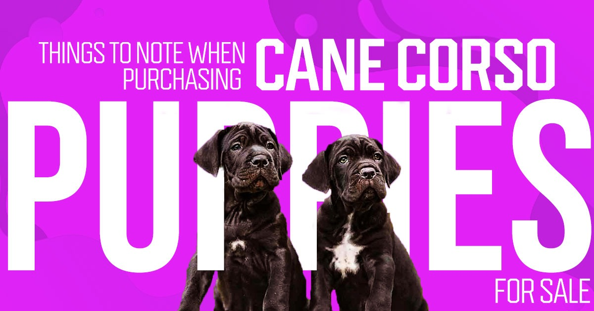 Things to Note When Purchasing Cane Corso Puppies for Sale theodysseynews